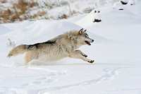 Wolf Canis lupus in winter, Minnesota.