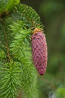 European spruce (Picea abies), young cones, Burgkwald forest near Karolinenfield, eastern Thuringia, Germany, Europe