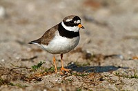 Common Ringed Plover or Ringed Plover Charadrius hiaticula, adult bird, Eidersperrwerk, North Frisia, Germany, Europe