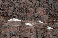 Mountain goats Oreamnos americanus, Yukon Wildlife Preserve, Canada.