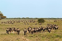 Herd of Wildebeest (Connochaetes taurinus), Serengeti, Tanzania, Africa