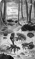 Drawing entitled The Robber Crab, from a book called What Mr. Darwin saw in his voyage round the world in the ship ´Beagle,´ published in 1879.