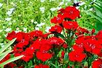 Red Dianthus. It was taken by Japan in the spring.