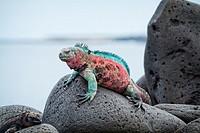Christmas Iguana, Galapagos Islands.
