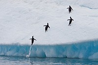 Adult Adelie penguins Pygoscelis adeliae leaping onto icebergs near the Antarctic Peninsula, Antarctica