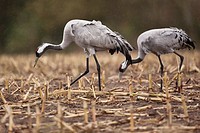 Cranes Grus grus, Mecklenburg_Western Pomerania, Germany, Europe