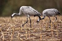 Cranes (Grus grus), Mecklenburg-Western Pomerania, Germany, Europe