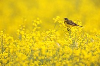 Yellow Wagtail Motacilla flava in a rape field, Limburg, Hesse, Germany, Europe