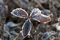 Privet (Ligustrum vulgare), leaves covered with hoar frost, Untergroeningen, Baden-Wuerttemberg, Germany, Europe