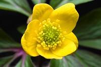 Yellow Woodland Anemone, Yellow Wood Anemone, Buttercup Anemone, Yellow Woodland Thimble-Weed, Yellow Anemone (Anemonoides ranunculoides, Anemone ranu...