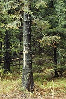 Acid rain and air pollution produce yellow needles, or Waldsterben, marked with crosses by environmentalists, on Norway Spruce trees along a scenic ro...