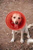Labrador retriever wearing an Elizabethan collar´ after surgery, to keep the dog from licking its wound.