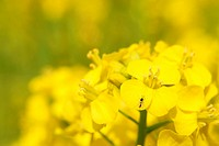 Rape blossoms close_up. It takes a picture in April.