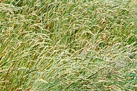 Long grasses in a meadow