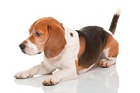 a cute dog of the beagle breed