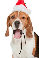 a cute dog of the beagle breed wearing a christmas hat