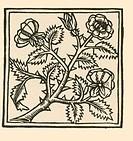 Rose, from Macer´s Viribus Herbarum, Naples, 1477.