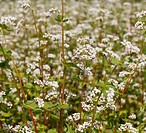 Common Buckwheat Fagopyrum esculentum, flowering, Franconia, Bavaria, Germany, Europe