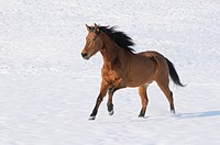 Paso Fino Horse galloping in the snow, Bavaria, Germany, Europe