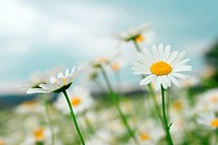 Beautiful daisies growing in the meadow