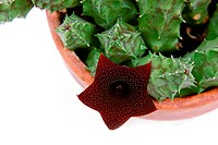 Stapelia plant blossoming with red flower over white