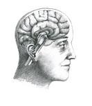 Illustration of a cross_section of the brain showing parts such as the cerebrum, cerebellum, corpus callosum, medulla oblongata, temporal lobe, hypoth...