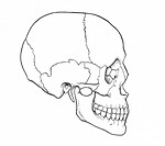 Anatomical illustration of a human skull in profile, showing the various skeletal parts: parietal, coronal suture, frontal, glabella, nasal, lacrimal,...