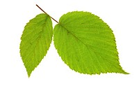 leaf raspberry isolated on a white