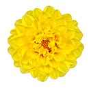 Dahlia Flower _ Yellow Petals with Yellow Center Isolated on White Background