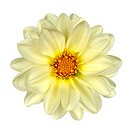 White Dahlia Flower with Yellow Center Isolated on White Background