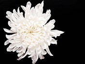 fresh white chrysanthemum on dark background