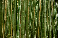 Background of a green stems of a japanese bamboo forest seen from the side