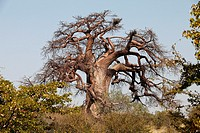 Baobab tree in the south of Zimbabwe