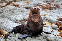 wild seal at Seal colony coastal in Kaikoura New Zealand