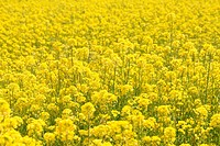 Rapeseed flowers in field