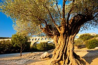 Ancient olive tree with Roman Aqueduct ´Pont du Gard´ beyond near Nimes, Languedoc France