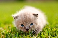White kitten on a green lawn. Selective focus.