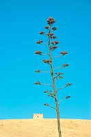 blue sky, yellow field and green agave