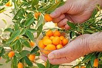 Picking kumquats