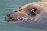 Curious Northern Steller sea lion Eumetopias jubatus bull inspecting the camera near Petersburg, Southeastern Alaska, USA, Pacific Ocean