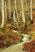 Beech forest in the Irati jungle or forest, Navarra, northern Spain