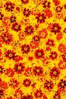 Rudbeckia laciniata, Lantana camara, Tagetes _ flower heads