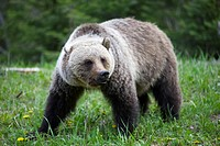 grizzly bear in forest near Radium, British Columbia, Canada