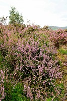 Common Heather calluna vulgaris in central Scotland