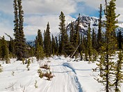 Well used winter trail in boreal forest taiga of Yukon Territory, Canada.