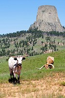 Two cows graze on grass in a field very close to Devils Tower in Wyoming.
