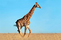 A giraffe walking on the African plains against a clear blue sky