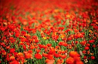 Field of red Ranunculus flowers, nature stock photography
