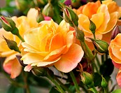 pink and yellow roses in the garden