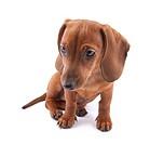 Dachshund puppy, 3 months old